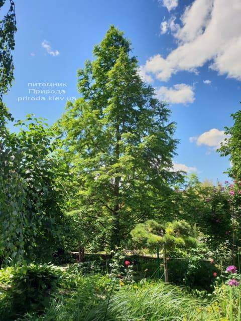 Метасеквойя китайская (Metasequoia glyptostroboides) ФОТО Питомник растений Природа Priroda (2)