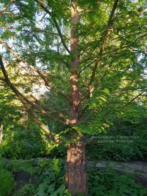 Метасеквойя китайская (Metasequoia glyptostroboides) ФОТО Питомник растений Природа Priroda (20)