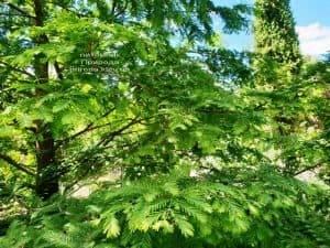 Метасеквойя китайская (Metasequoia glyptostroboides) ФОТО Питомник растений Природа Priroda (21)