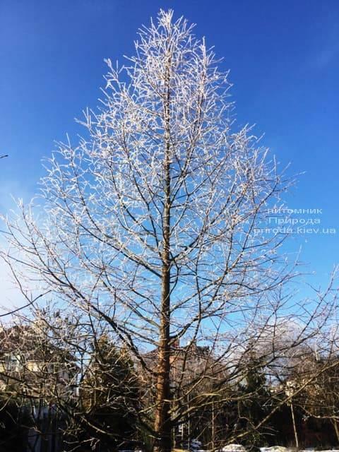 Метасеквойя китайская (Metasequoia glyptostroboides) ФОТО Питомник растений Природа Priroda (22)