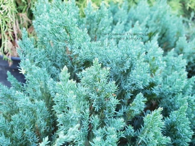 Можжевельник горизонтальный Блю Форест (Juniper horizontalis Blue Forest) ФОТО Питомник растений Природа (Priroda) (1)