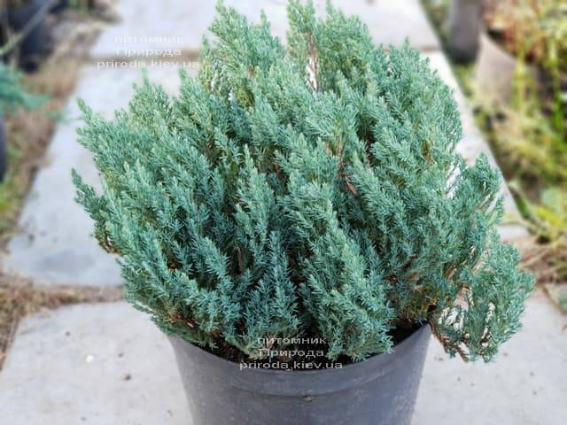Можжевельник горизонтальный Блю Форест (Juniper horizontalis Blue Forest) ФОТО Питомник растений Природа (Priroda) (2)