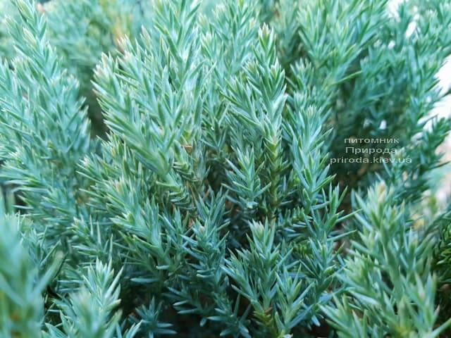 Можжевельник горизонтальный Блю Форест (Juniper horizontalis Blue Forest) ФОТО Питомник растений Природа (Priroda) (3)