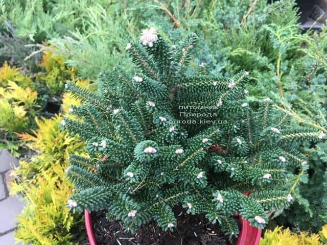 Пихта корейская Альпин Стар (Abies koreana Alpin Star) ФОТО Питомник растений Природа (Priroda) (4)