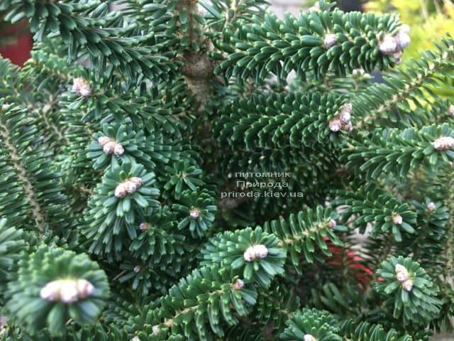 Пихта корейская Альпин Стар (Abies koreana Alpin Star) ФОТО Питомник растений Природа (Priroda) (6)