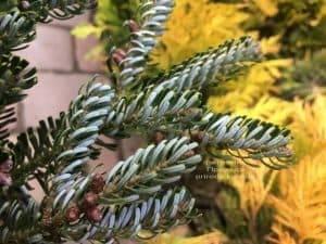 Пихта корейская Сильвер Стар (Abies koreana Silver Star) ФОТО Питомник растений Природа (Priroda) (3)