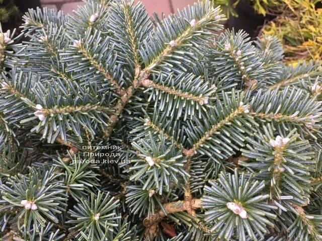 Пихта корейская Тання (Abies koreana Tannia) ФОТО Питомник растений Природа (Priroda) (2)