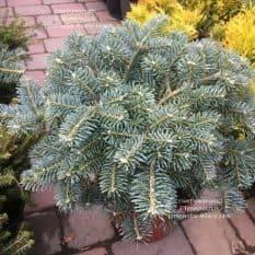Пихта корейская Тання (Abies koreana Tannia) ФОТО Питомник растений Природа (Priroda) (5)