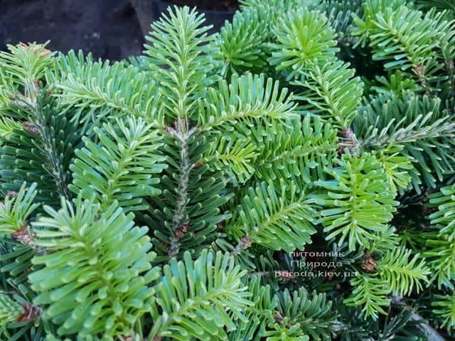 Пихта Нордмана (кавказская) Старкерс Дварф (Abies Nordmanniana Starkers Dwarf) ФОТО Питомник растений Природа (Priroda) (1)