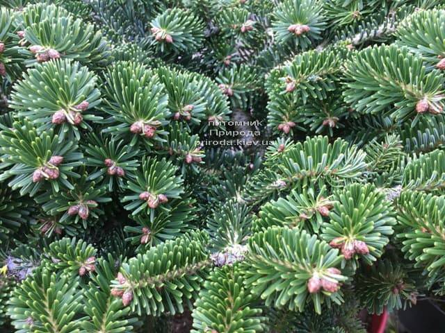 Пихта Нордмана (кавказская) Старкерс Дварф (Abies Nordmanniana Starkers Dwarf) ФОТО Питомник растений Природа (Priroda) (3)