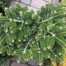 Пихта Нордмана (кавказская) Старкерс Дварф (Abies Nordmanniana Starkers Dwarf) ФОТО Питомник растений Природа (Priroda) (4)