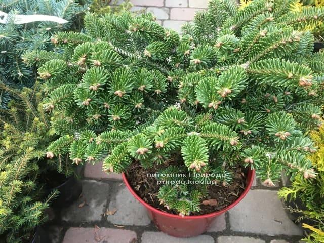 Пихта Нордмана (кавказская) Старкерс Дварф (Abies Nordmanniana Starkers Dwarf) ФОТО Питомник растений Природа (Priroda) (5)