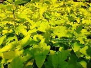 Пузыреплодник калинолистный Лютеус (Physocarpus opulifolius Luteus) ФОТО Питомник растений Природа (Priroda) (1)