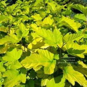 Пузыреплодник калинолистный Лютеус (Physocarpus opulifolius Luteus) ФОТО Питомник растений Природа (Priroda) (2)