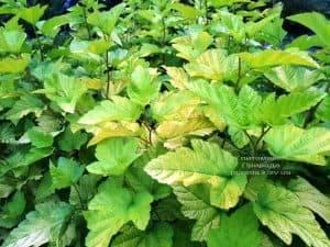 Пузыреплодник калинолистный Лютеус (Physocarpus opulifolius Luteus) ФОТО Питомник растений Природа (Priroda) (6)