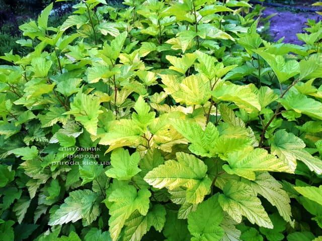 Пузыреплодник калинолистный Лютеус (Physocarpus opulifolius Luteus) ФОТО Питомник растений Природа (Priroda) (7)
