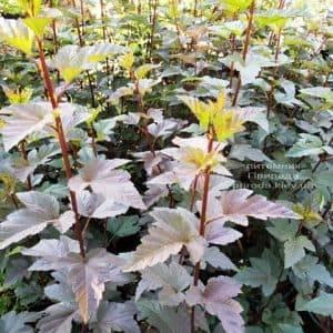 Пузыреплодник калинолистный Саммер Вайн (Physocarpus opulifolius Summer Wine) ФОТО Питомник растений Природа (Priroda) (1)