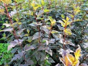 Пузыреплодник калинолистный Саммер Вайн (Physocarpus opulifolius Summer Wine) ФОТО Питомник растений Природа (Priroda) (2)
