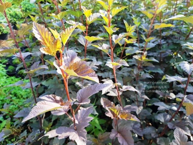 Пузыреплодник калинолистный Саммер Вайн (Physocarpus opulifolius Summer Wine) ФОТО Питомник растений Природа (Priroda) (3)