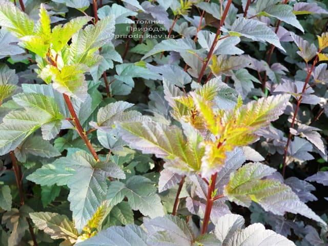 Пузыреплодник калинолистный Саммер Вайн (Physocarpus opulifolius Summer Wine) ФОТО Питомник растений Природа (Priroda) (4)