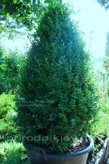 Самшит вечнозелёный Конус (Buxus sempervirens Konus) ФОТО Питомник растений Природа (Priroda) (2)