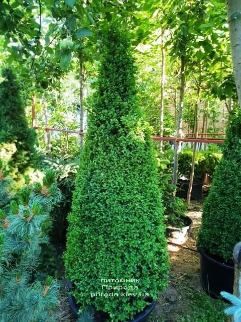 Самшит вечнозелёный Конус (Buxus sempervirens Konus) ФОТО Питомник растений Природа (Priroda) (6)