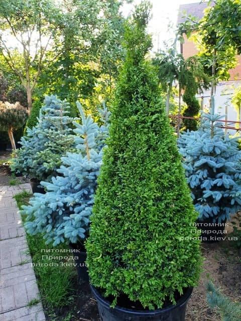 Самшит вечнозелёный Конус (Buxus sempervirens Konus) ФОТО Питомник растений Природа (Priroda) (7)
