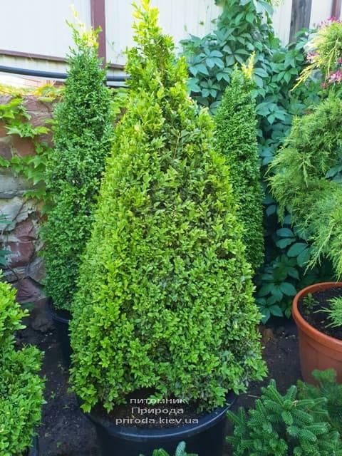 Самшит вечнозелёный Пирамида (Buxus sempervirens Piramida) ФОТО Питомник растений Природа (Priroda) (2)