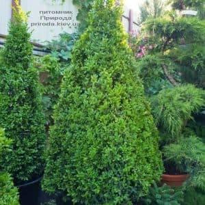 Самшит вечнозелёный Пирамида (Buxus sempervirens Piramida) ФОТО Питомник растений Природа (Priroda) (3)