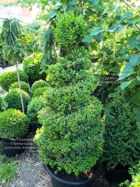 Самшит вечнозелёный Спираль (Buxus sempervirens Spiral) ФОТО Питомник растений Природа (Priroda) (1)