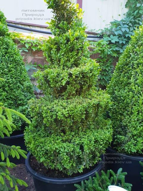 Самшит вічнозелений Спіраль (Buxus sempervirens Spiral) ФОТО Розплідник рослин Природа (Priroda) (3)