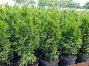 Туя западная Смарагд (Thuja occidentalis Smaragd) ФОТО Питомник растений Природа Priroda (105)