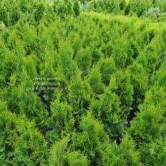 Туя западная Смарагд (Thuja occidentalis Smaragd) ФОТО Питомник растений Природа Priroda (104)