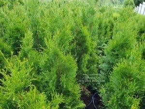 Туя западная Смарагд (Thuja occidentalis Smaragd) ФОТО Питомник растений Природа Priroda (103)