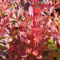 Барбарис Тунберга Корал (Berberis thunbergii Coral) ФОТО Питомник растений Природа (Priroda) (3)