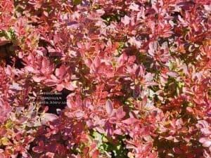 Барбарис Тунберга Корал (Berberis thunbergii Coral) ФОТО Питомник растений Природа (Priroda) (4)