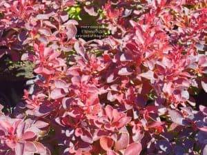 Барбарис Тунберга Файер Болл (Berberis thunbergii Fire Ball) ФОТО Питомник растений Природа (Priroda) (1)