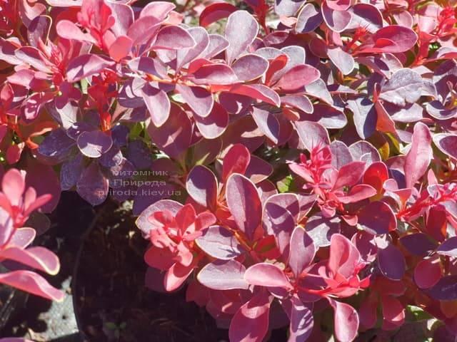 Барбарис Тунберга Файер Болл (Berberis thunbergii Fire Ball) ФОТО Питомник растений Природа (Priroda) (2)