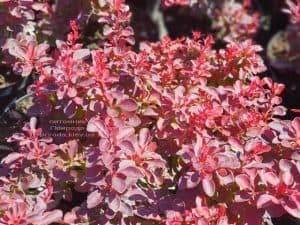 Барбарис Тунберга Файер Болл (Berberis thunbergii Fire Ball) ФОТО Питомник растений Природа (Priroda) (4)