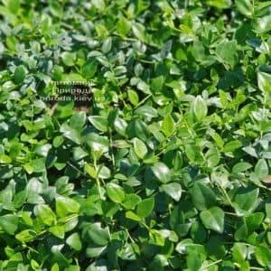 Барвинок (Vinca minor) ФОТО Питомник растений Природа (Priroda) (3)