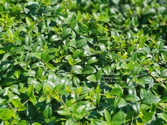 Барвинок (Vinca minor) ФОТО Питомник растений Природа (Priroda) (4)