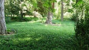 Барвинок (Vinca minor) ФОТО Питомник растений Природа (Priroda) (6)
