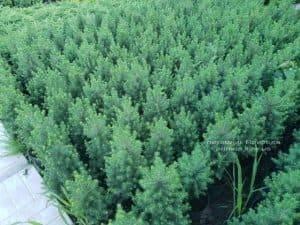 Ель канадская Коника (Picea glauca Conica) ФОТО Питомник растений Природа (Priroda) (1)