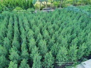 Ель канадская Коника (Picea glauca Conica) ФОТО Питомник растений Природа (Priroda) (3)