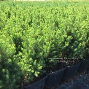 Ель канадская Коника (Picea glauca Conica) ФОТО Питомник растений Природа (Priroda) (4)