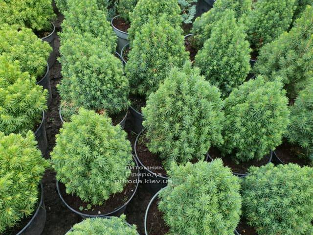 Ель канадская Лаурин (Picea glauca Laurin) ФОТО Питомник растений Природа (Priroda) (4)