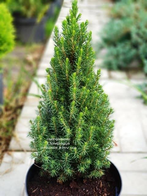 Ель канадская Цукерхут (Picea glauca Zuckerhut) ФОТО Питомник растений Природа (Priroda) (4)