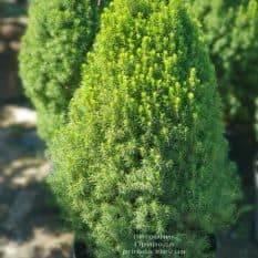 Ель канадская Цукерхут (Picea glauca Zuckerhut) ФОТО Питомник растений Природа (Priroda) (1)