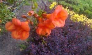 Кампсис укореняющийся Флорида (Campsis radicans Florida) ФОТО Питомник растений Природа (Priroda) (1)