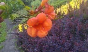 Кампсис укореняющийся Флорида (Campsis radicans Florida) ФОТО Питомник растений Природа (Priroda) (2)